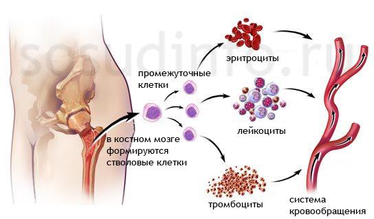 Формирование клеток крови из костного мозга. При апластической и гипопластической анемиях наблюдаются нарушения при выработке лейкоцитов