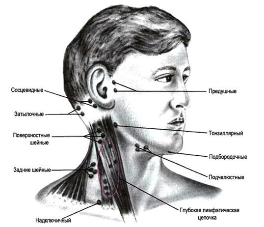 расположение лимфоузлов на шее и голове