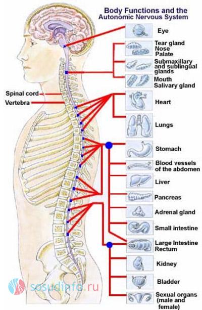 За что отвечает спинной мозг: cвязь его зон с органами
