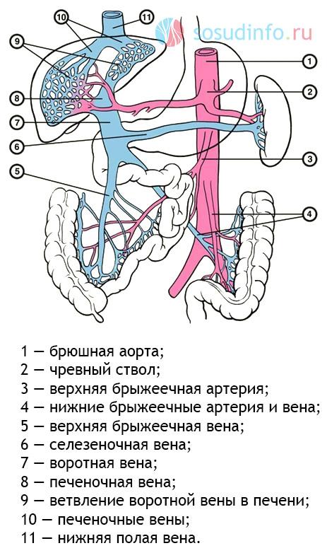 схема абдоминального кровоснабжения
