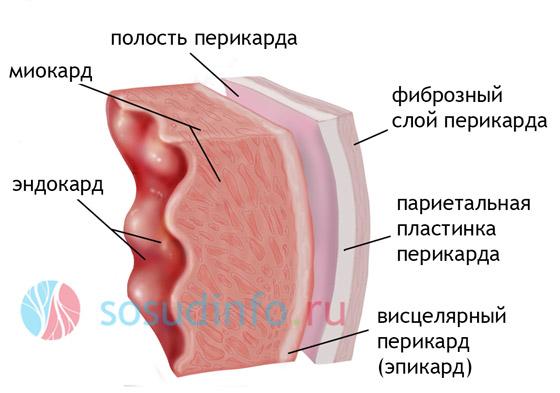 миокард, эпикард, перикард, эндокард - строение сердечной оболочки