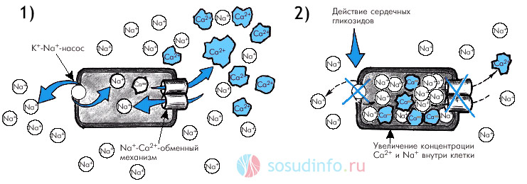 инотропное действие гликозидов