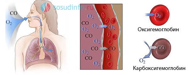 """формирование насыщенного кислородом оксигемоглобина и """"вредного"""" карбоксигемоглобина, переносящего угарный газ"""