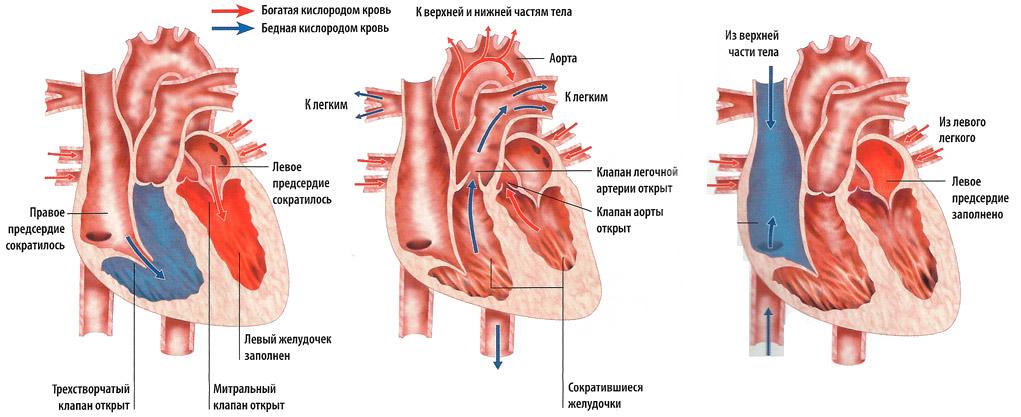 схема: сердечный цикл