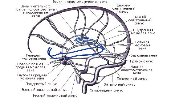венозная сеть и синусы мозга