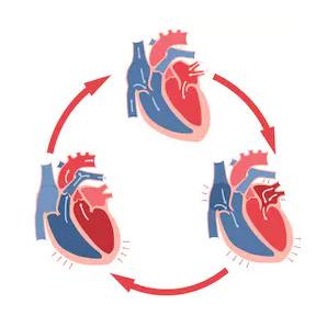 Сердечный цикл и его фазы таблица физиология