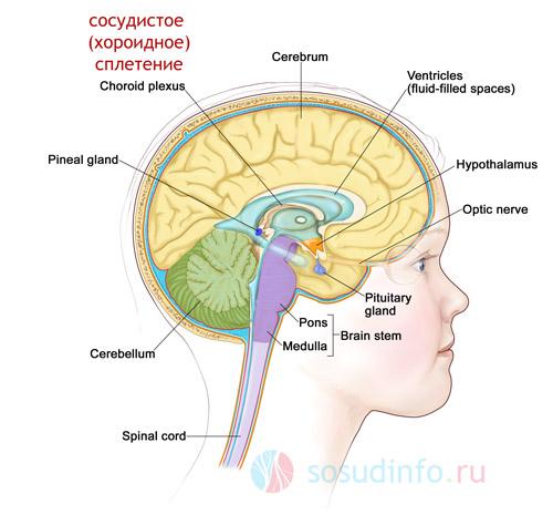 сосудистое (хороидное) сплетение в структуре мозга